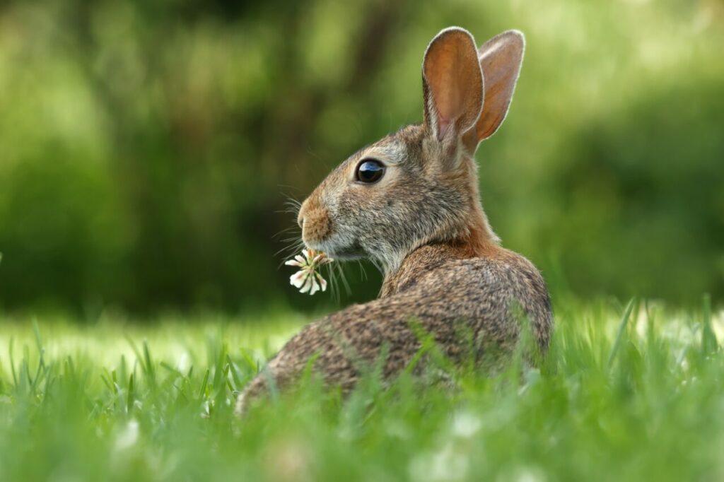 rabbit spirit guide