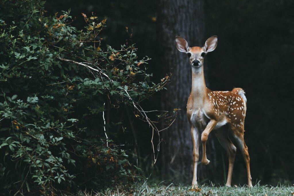 is a deer your spirit animal?