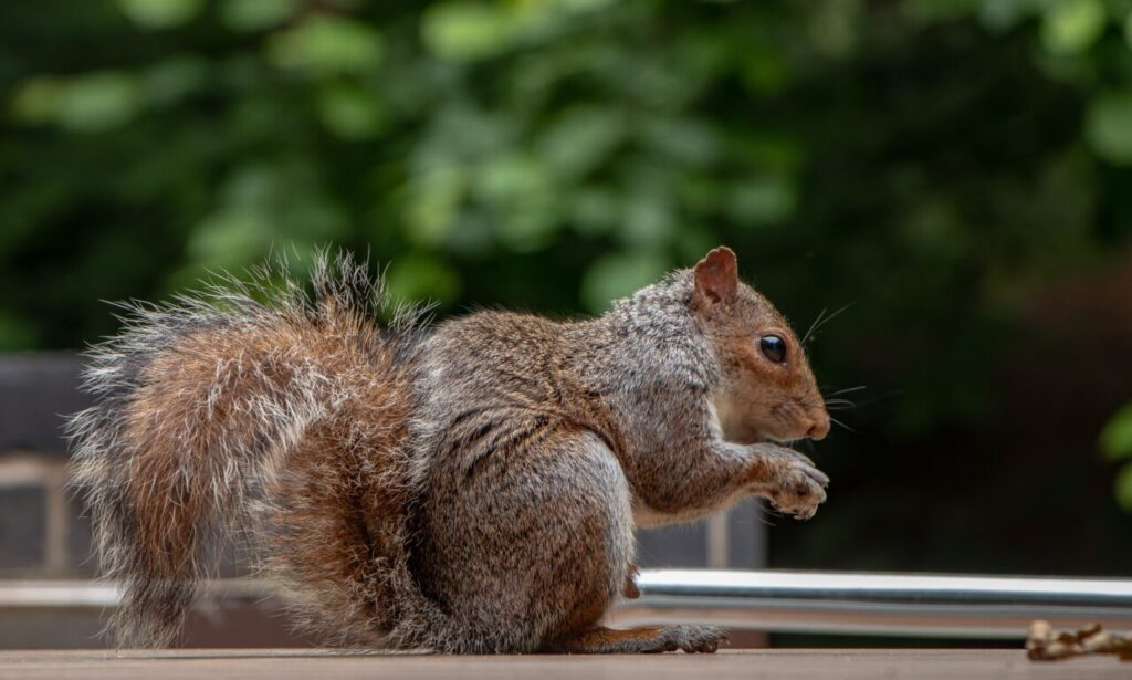 squirrel collecting for the autumn